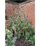Growing in a sunny corner - artichokes (Cynara scolymus) - geograph.org.uk - 935419