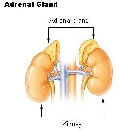 Adrenal Gland: Glands Of The Endocrine System