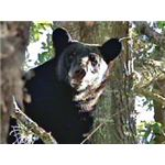 Wayward Florida Black Bear Stuck in a Neighborhood Tree