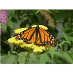 Monarch Butterflies Migrate Long Distances