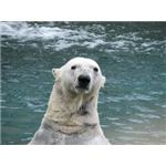 polar_bear_global_warming