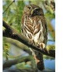 Cactus Ferruginous Pygmy-owl