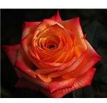 A fine red rose.
