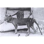 Tasmanian tigers in Washington Zoo 1902 or 1906 -