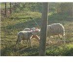 An Ewe loving her lamb