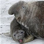 Male and Female Southern Elephant Seals