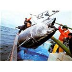 Fishing for Bluefin Tuna