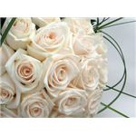 rose-backgrounds-white-roses