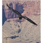 California Condor flying over the canyon.