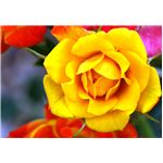 Original Photo of Yellow Rose