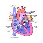 Early Childhood Lesson Plans + Human Body - heart southdartmoor