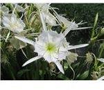 Shoals/Cahaba Lily (Hymenocallis coronavia)