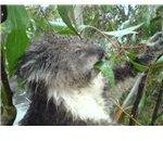 Koala eating leaves.
