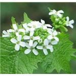 Second-year garlic mustard