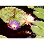 Lily Pad Photo