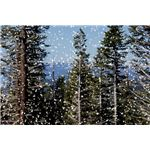 Tahoe Forest with Snow
