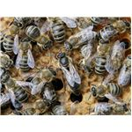 The queen is the larger bee in the center of this image.