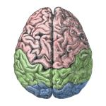 Cerebral Lobes Wikimedia Commons