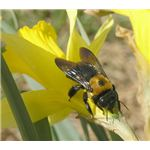 Carpenter bees have a dark underside - no yellow