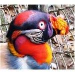 Andean Condor Head Cali ZOO Aug 2007 049
