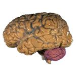 Human Brain with cerebellum in purple