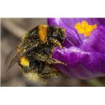 Bumblebee (covered with pollen)