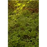 Ferns Used to Accumulate Arsenic from the Soil