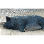 Sleeping Guinea Hog2 by Spinning Spark Wikimedia Commons
