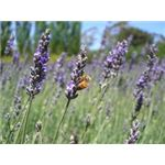 Busy Bee amongst Lavender