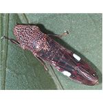 Glass Winged Sharpshooter (Leafhopper)