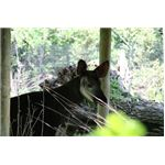 The okapi with blurred cage and zoomed lens
