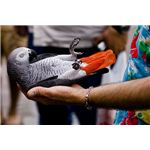 Tame Pet African Grey Parrot