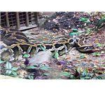 Python Cali ZOO Aug 2007 059