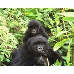 Gorillas in the Volcanoes National Park, Rwanda