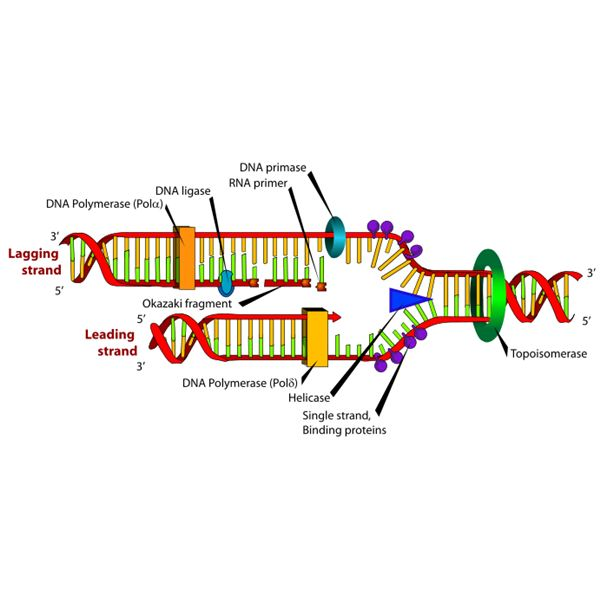 What is dna replication and what happens during dna for Explain how dna serves as its own template during replication