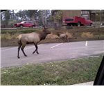 Elk Herd Downtown Evergreen Colorado