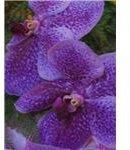 Cali Orchid show Nov 2005 034
