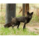 Black Fox in Evergreen Colorado