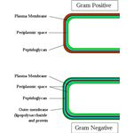 Gram-positive & Gram-negatice cell walls