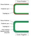 Gram-positive & Gram-negatice cell walls