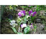 Orchids in Fiji