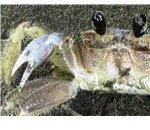 CU crab IMG 2557