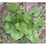 First year garlic mustard