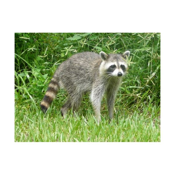 an analysis of the special adaptations on the raccoon species Animal adaptations storks have poor fledgling success during dry seasons because the dry ground under their nest trees allows access by raccoons many species.