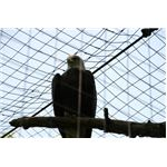 The bald eagle in a mesh of wires, shot against the sky background