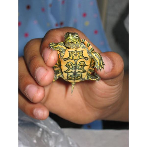 small turtle in hand