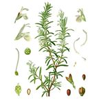 Benefits of Rosemary Tea