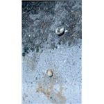 Penguin Eggs Preyed on by Kelp Gulls