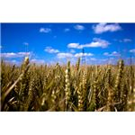 environmentally sustainable wheat farming