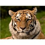 The Siberian Tiger is a subspecies of tiger that is endangered - image released into the public domain under Creative Commons by its author S. Taheri
